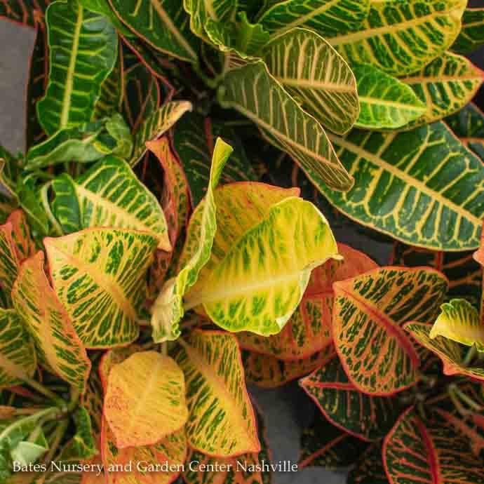10p! Croton Petra /Tropical