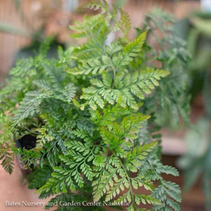 6p! Fern - Rabbit's Foot Fern /Paw /Tropical