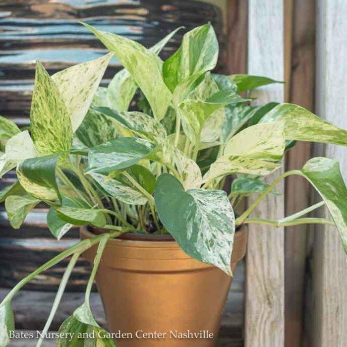 6p! Pothos Marble Queen /Devil's Ivy /Tropical
