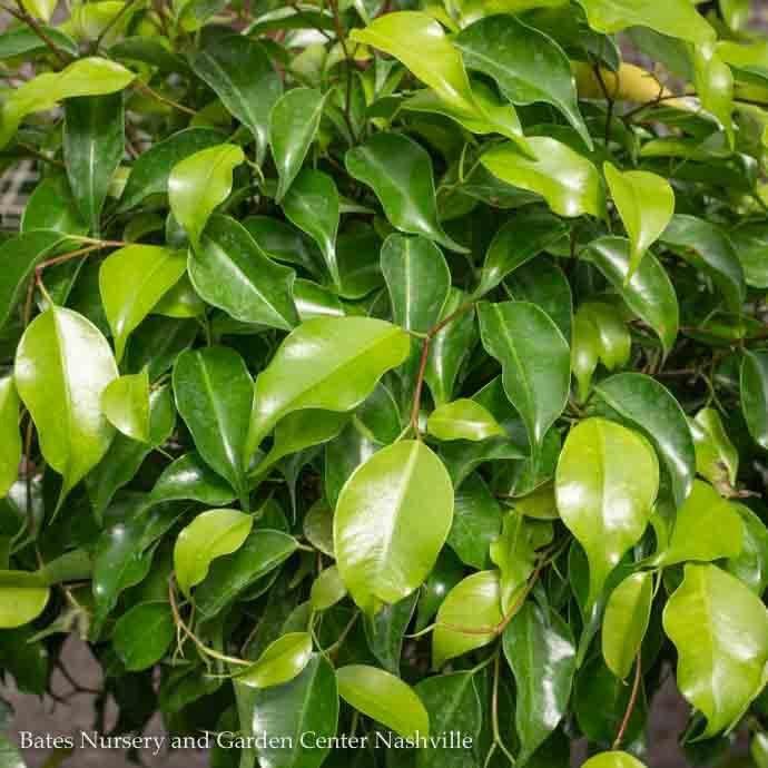 10p! Ficus Benjamina Standard /Tropical