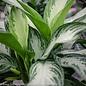 6p! Aglaonema  Asst / Chinese Evergreen /Tropical