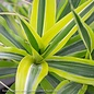 10p! Dracaena Warneckii Lemon Lime /Tropical