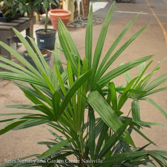 10p! Palm Rhapis excelsa / Lady Palm /Tropical