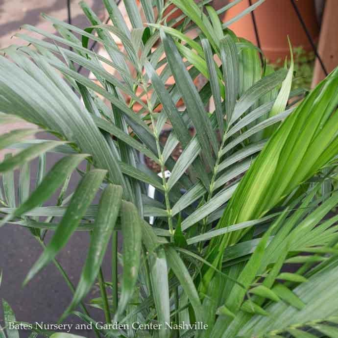 10p! Palm Cham Cataractarum / Cat Palm /Tropical