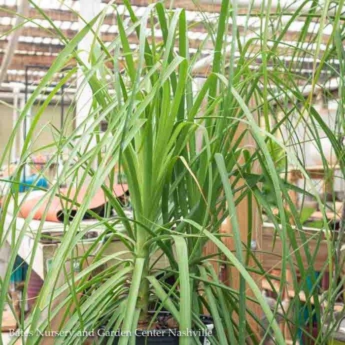 10p! Palm Beaucarnea rec / Ponytail Palm STUMP /Tropical