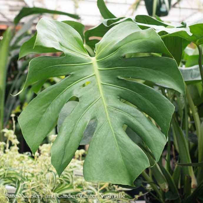 10p! Philodendron Split Leaf / Monstera deliciosa /Tropical