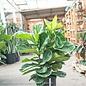 10p! Ficus Lyrata Bush /FiddleLeaf Fig /Tropical No Warranty
