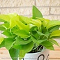 6p! Pothos Neon /Devil's Ivy /Tropical