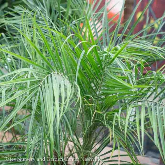 10p! Palm Phoenix roebellini/Pygmy Date Palm /Tropical