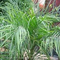 10p! Palm Phoenix roebellini/Pygmy Date Palm /Tropical