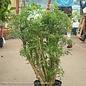 8p! Aralia Ming Stump / Polyscias fru /Tropical