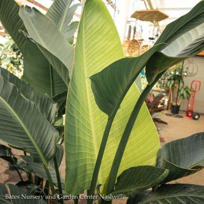 14p! Strelitzia / White Bird of Paradise /Tropical