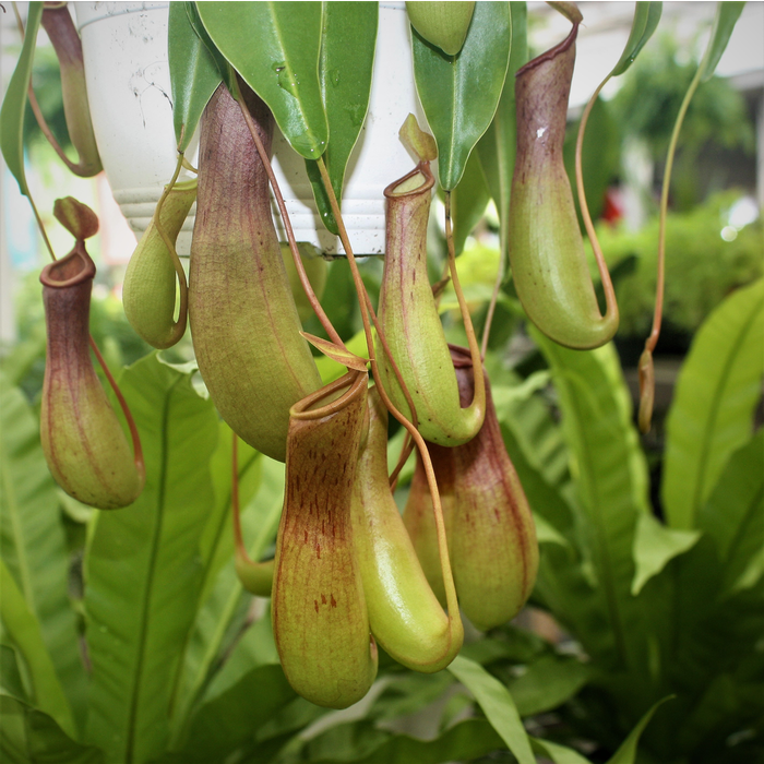 6hb! Nepenthes alata / Pitcher Plant /Tropical