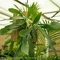 12p! Fern Staghorn Fern on Cedar Plaque /Tropical