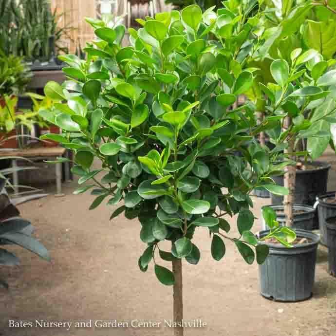 14p! Ficus Moclame STD /Tropical