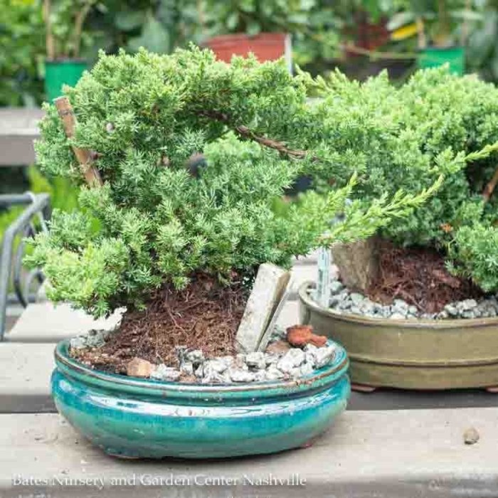 10p! Bonsai Plant Assorted Styles /Tropical