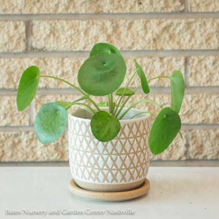 4p! Pilea peperomioides / Chinese Money Plant /Tropical