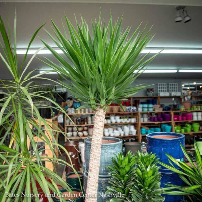 12p! Yucca Jumbo Cane 1ppp /Tropical