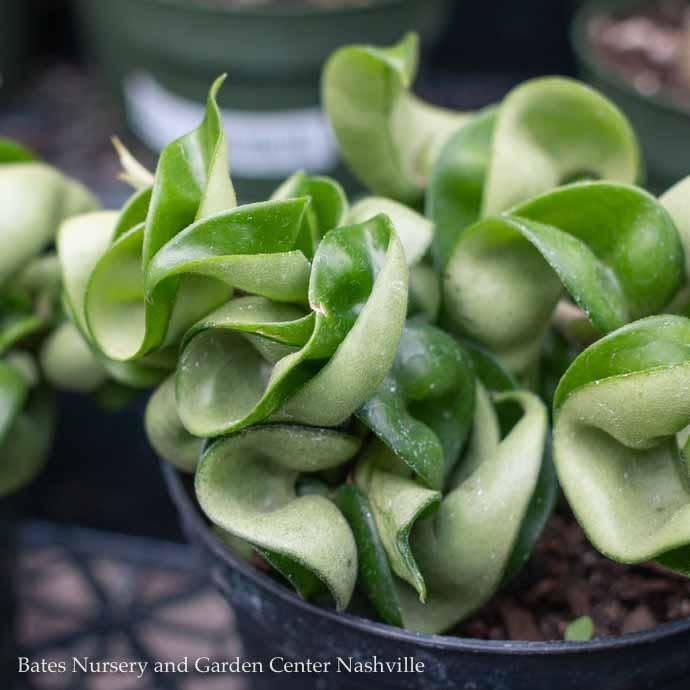 4p! Hoya /Wax Plant Asst /Tropical **LIMIT 1**