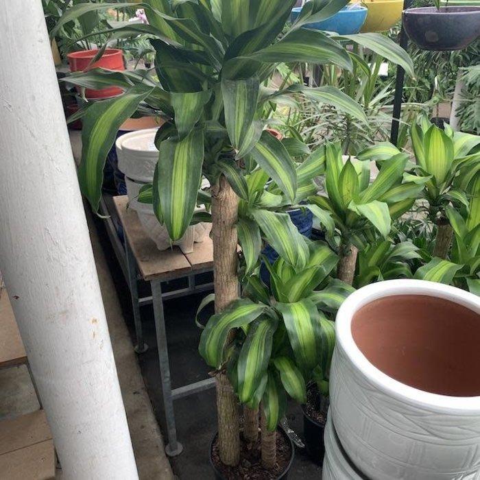 10p! Dracaena Massangeana Cane 4-3-2 /Corn Plant /Tropical