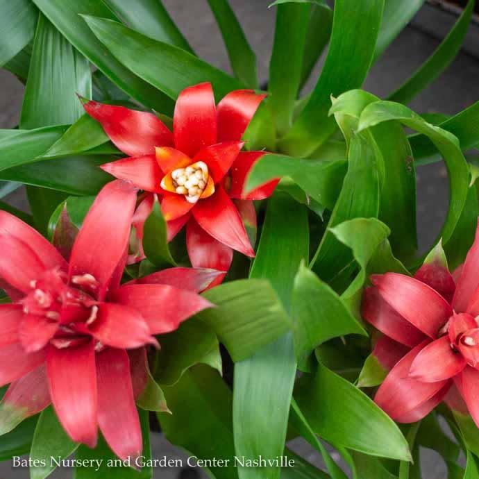 4p! Bromeliad Assortment /Tropical