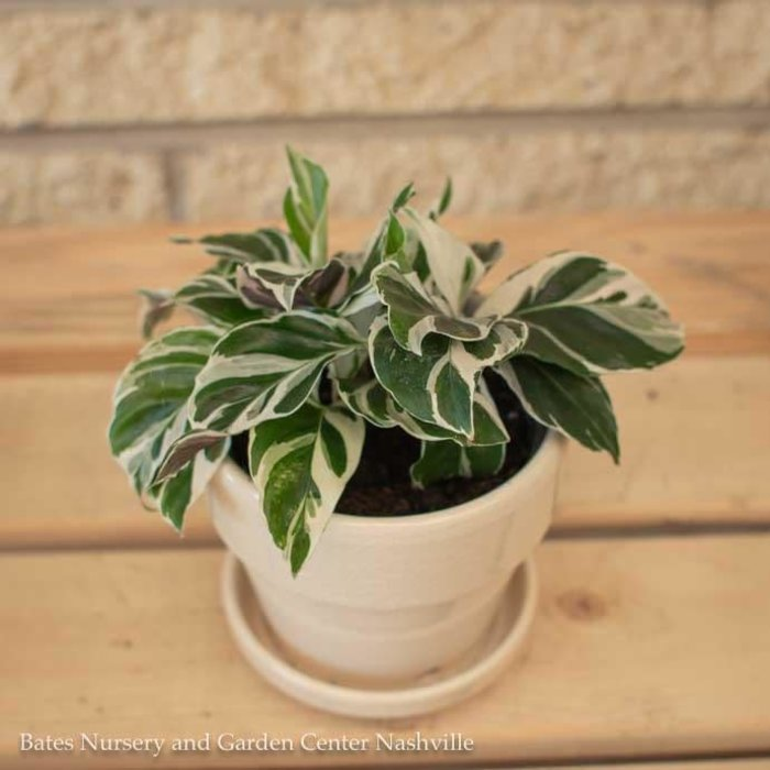 4p! Calathea White Fusion /Tropical