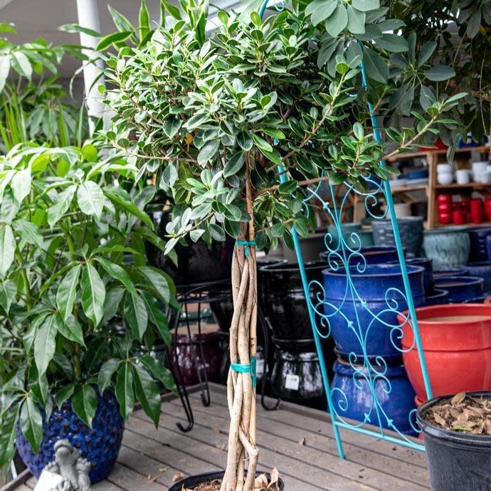 10p! Ficus Green Island Braid /Tropical