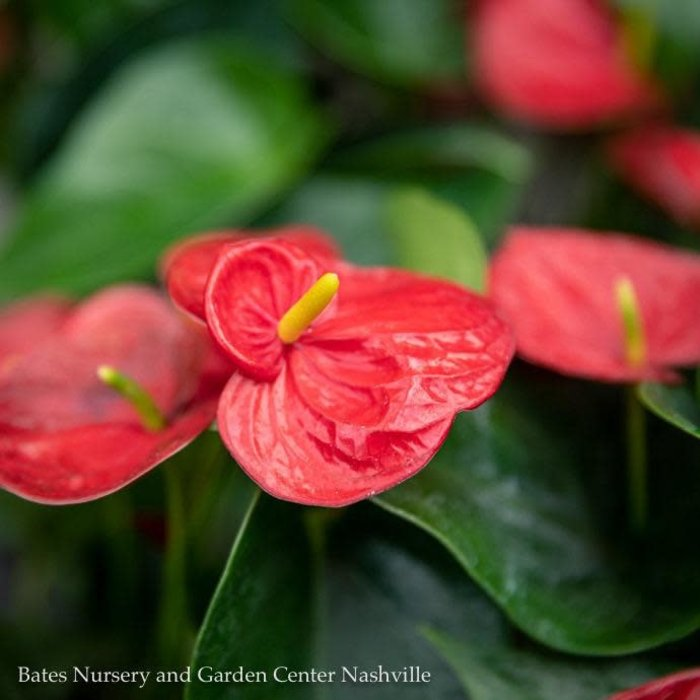 4p! Anthurium Asst /Tropical