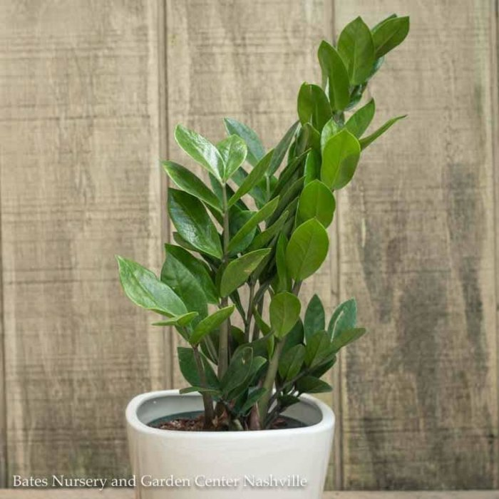 6p! Zamioculcus/ ZZ Plant /Tropical