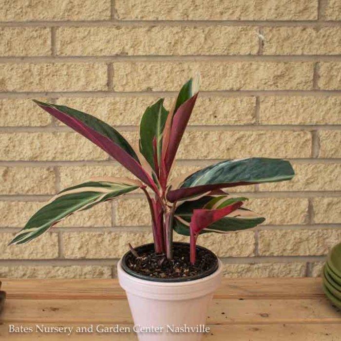 4p! Stromanthe Triostar Peacock Plant /Tropical