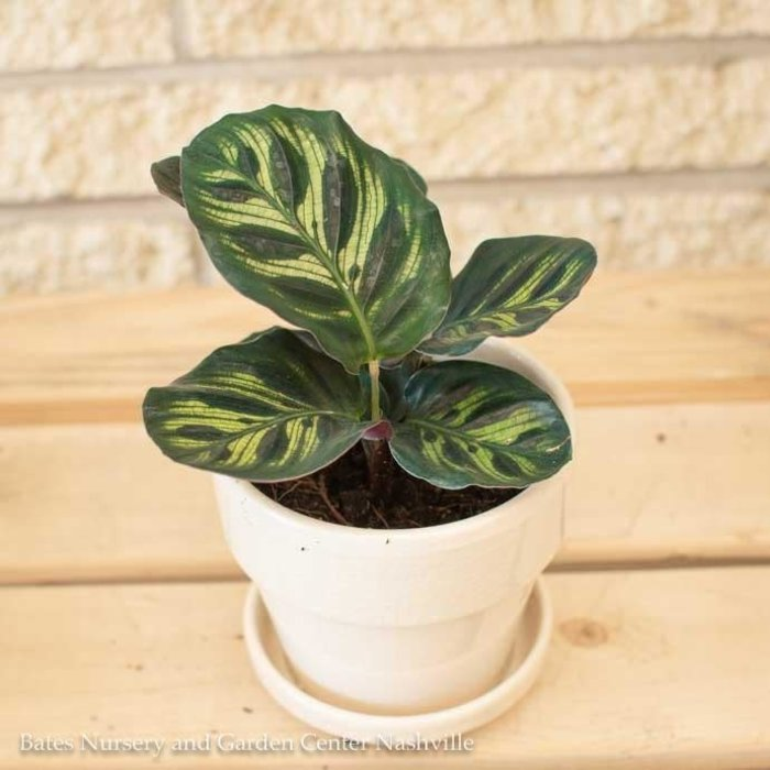 4p! Calathea Asst /Tropical