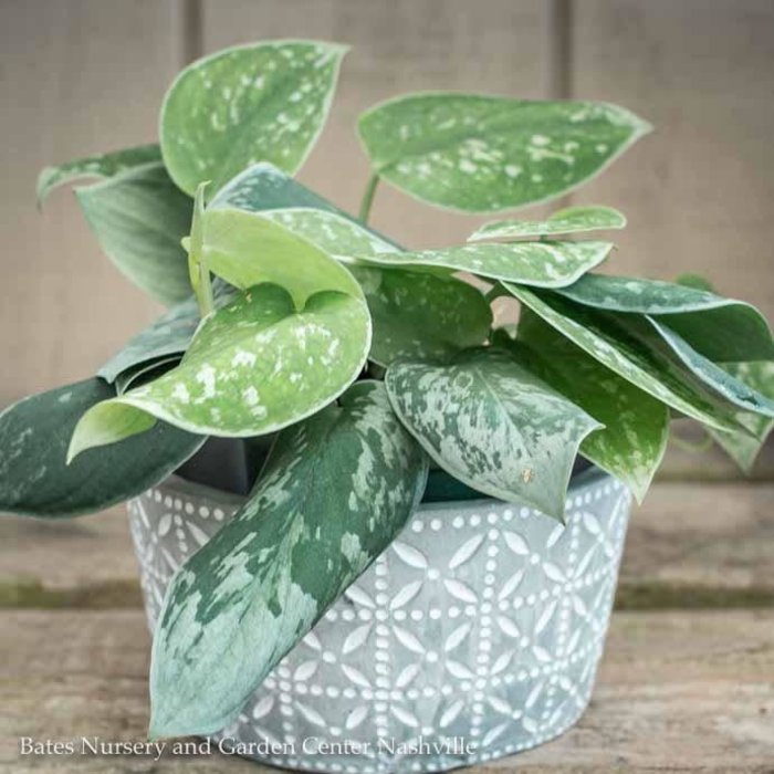 6p! Pothos Satin or Scindapsus picta /Devil's Ivy /Tropical
