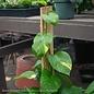 8p! Pothos Totem / Devil's Ivy /Tropical