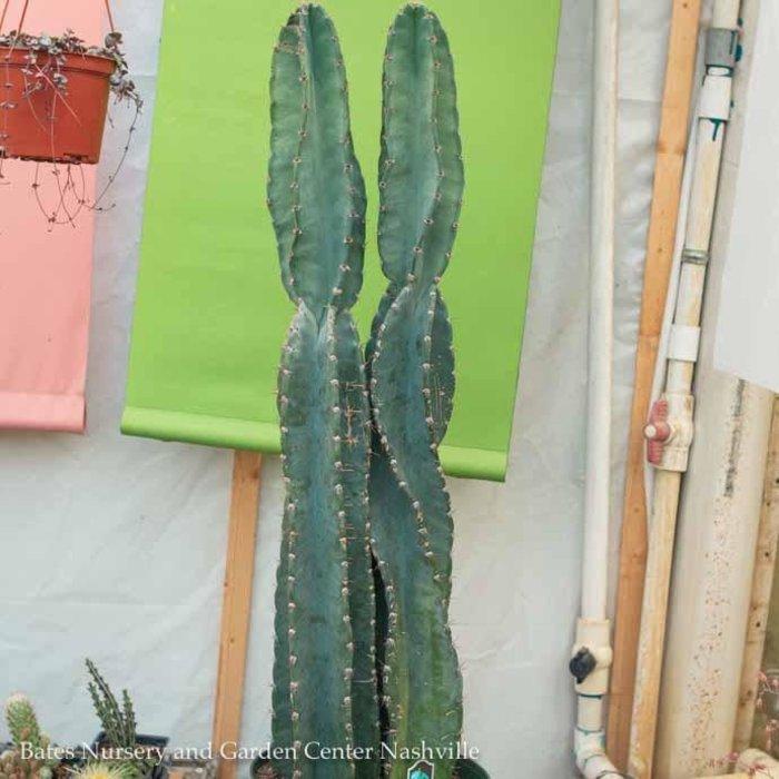 10p! Cactus Cereus Peruvians  /Tropical