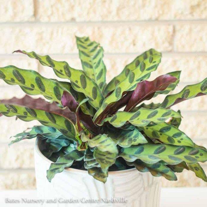 6p! Calathea Lancifolia /Tropical