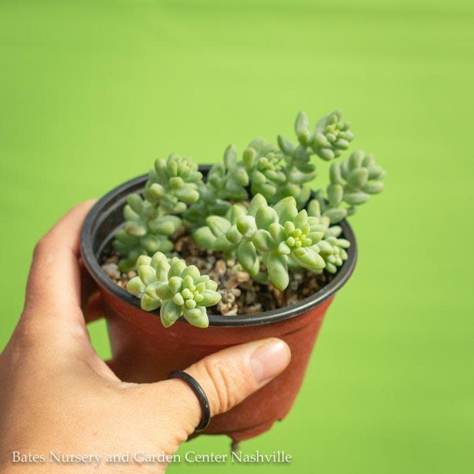4p! Burro's Tail /Donkey Tail Succulent /Tropical