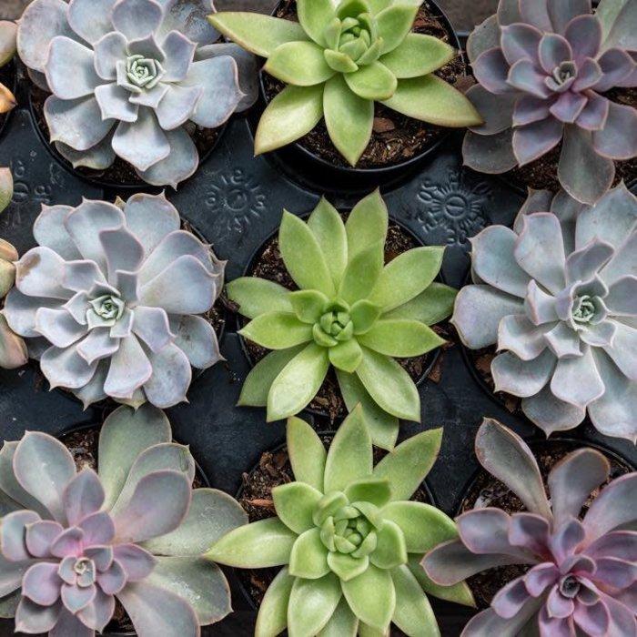 4p! Succulent Asst /Tropical