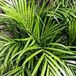 6p! Palm Dypsis lutescens / Areca Palm /Tropical