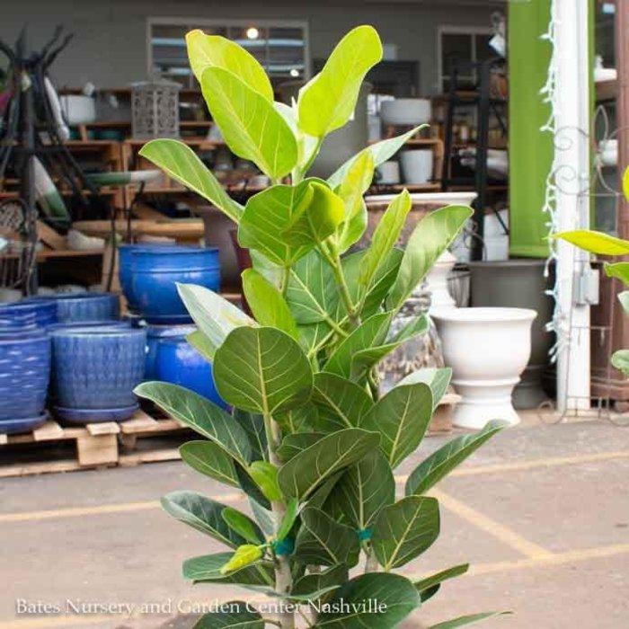 14p! Ficus Audrey Column 5-6' /Tropical