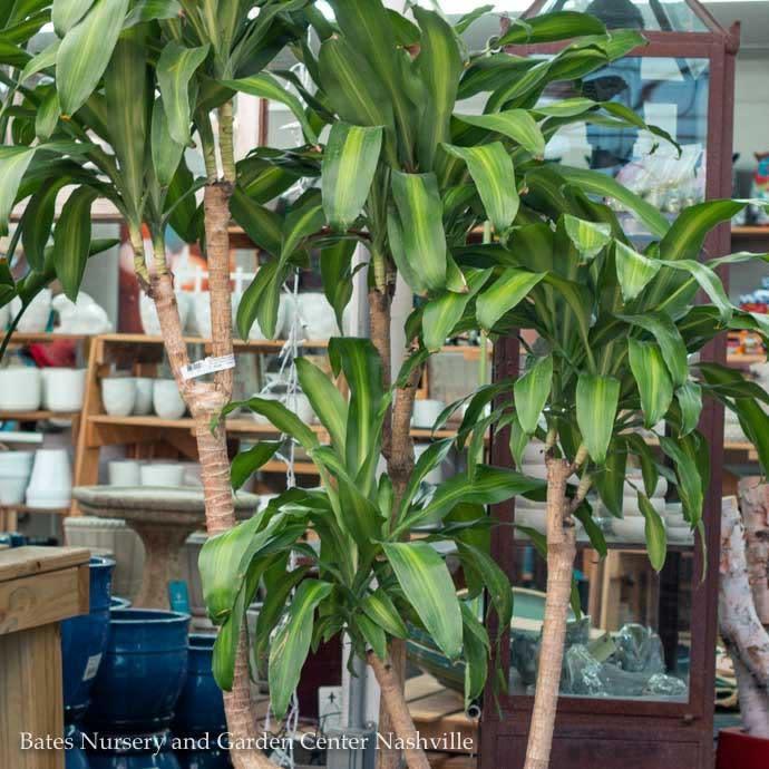 14p! Dracaena Massangeana Cane 5.4.3.2  /Corn Plant /Tropical