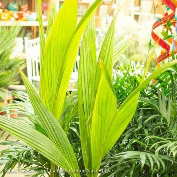 10p! Palm Coconut Palm (Green Malaysian) /Tropical