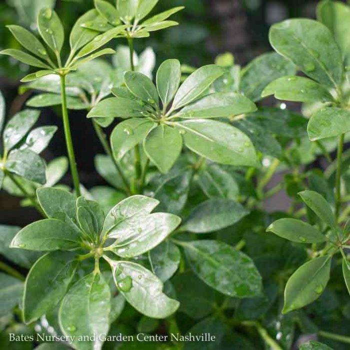 4p! Schefflera Arboricola /Tropical