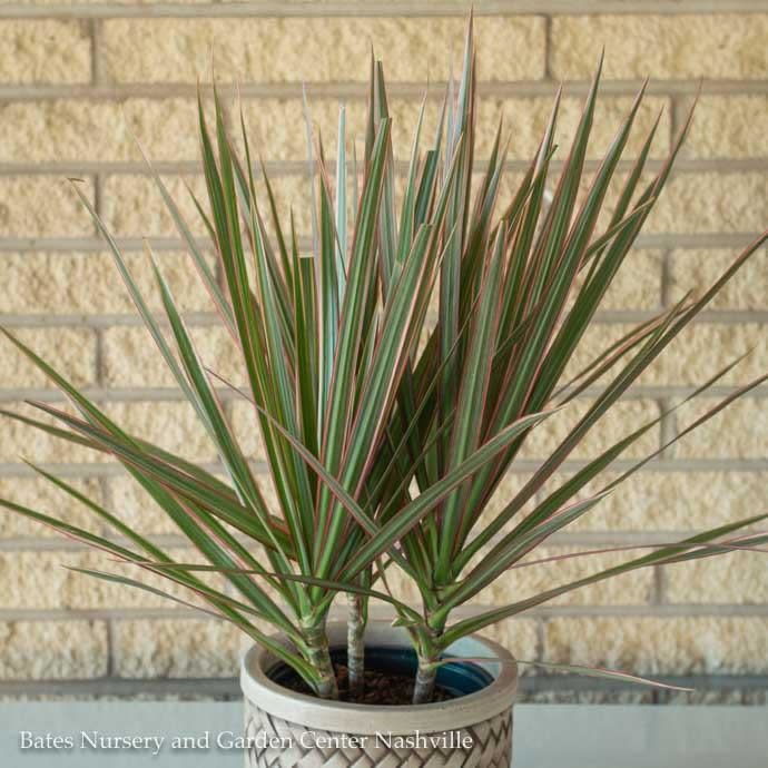 4p! Dracaena Asst /Tropical