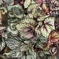 4p! Begonia - Rex Begonia  Premium /Tropical