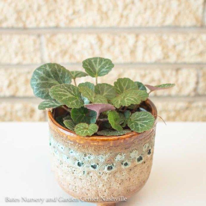 4p! Begonia - Strawberry /Tropical