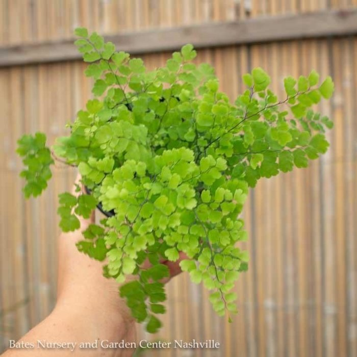 4p! Fern - Maidenhair Fern Asst /Tropical
