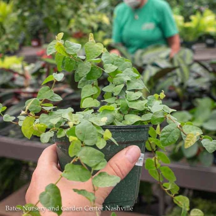 4p! Ficus Green Creeping Fig /Tropical