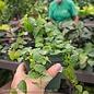 4p! Ficus Green Creeping Fig /Tropical