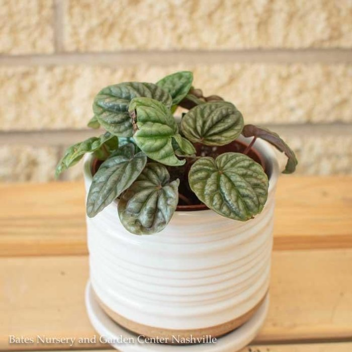 4p! Peperomia Ripple /Tropical