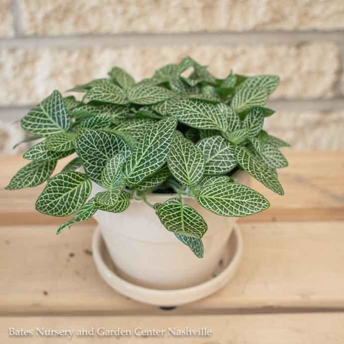 4p! Fittonia Asst /Tropical